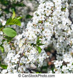 twig of flowering cherry tree in spring day
