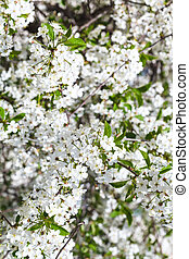 twig of blossoming cherry tree in spring day