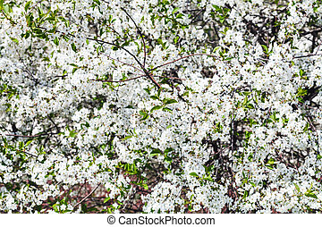 white blossom of cherry tree in spring day