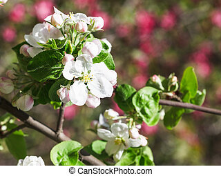 white flower of blossoming apple tree in spring