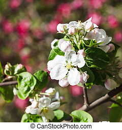 white bloom of flowering apple tree close up in spring