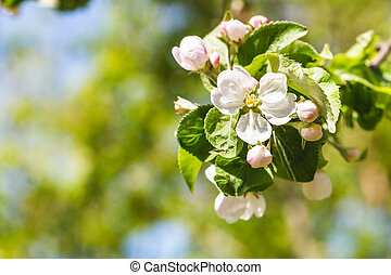 twig of apple tree with white blossoms close up in spring