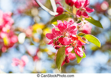 twig of apple tree with pink blossoms close up in spring