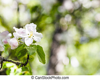 blossoms of apple tree close up in green forest - blossoms...