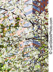 branches of blossoming cherry tree and urban house -...