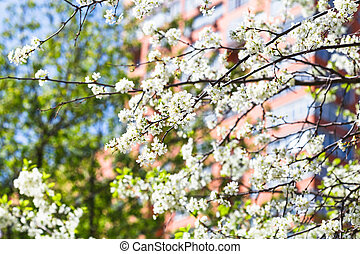 twigs of blossoming cherry tree and urban house - twigs of...