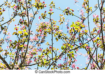 branches of pink flowering apple tree in spring - branches...