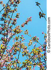 twigs of pink blossoming apple tree in spring - twigs of...