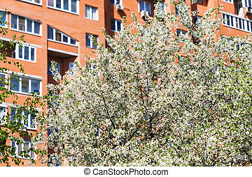 flowering cherry tree and urban apartment house on...
