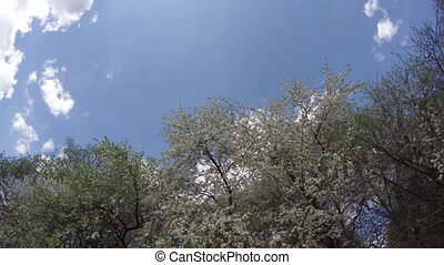 spring plum tree blossoms and sky clouds Timelapse 4K