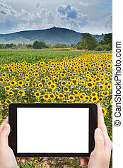 photo of sunflower field in Alsace, France