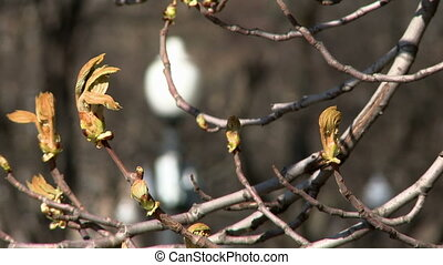 Close-up of branches with buds on mountain ash - Close-up of...