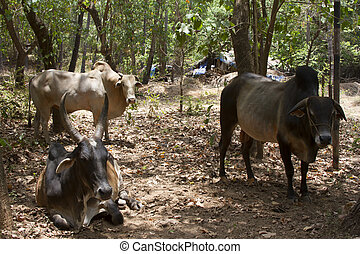 Brown cows lies on the ground India, Goa - Brown cows lies...