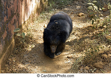 The Indian Himalaya bear runs in a zoo on a track. India...