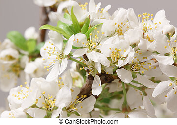 Spring came - The balmy breath of spring: a branch with lots...