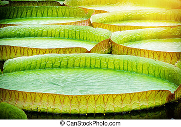 Closeup of water lillies Victoria amazonica - Closeup of...