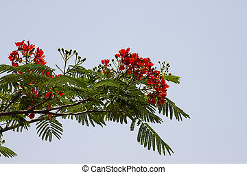 Beautiful red acacia branches. India Goa. - Beautiful red...