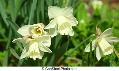 Narcissus - Spring flowering narcissus