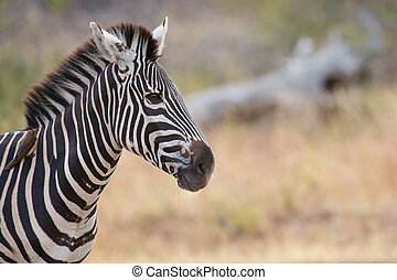 Zebra portrait in colour photo with heads close-up