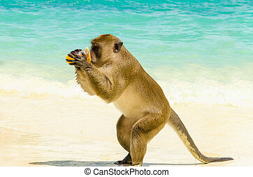 Monkey drinking juice, Thailand - Monkey drinking juice,...