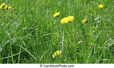 Dandelion field - Yellow Dandelions closeup. Field full of...