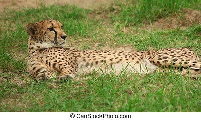 Cheetah - Young cheetah lying in the grass