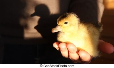 small duckling newly hatched in hands