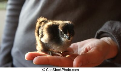 small chick in hands - small hatched chick in hands