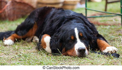 Bernese Mountain Dog - Portrait of Bernese Mountain Dog...