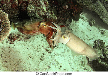 cuttle fish mating behavior... - Phylum: Mollusca Class:...