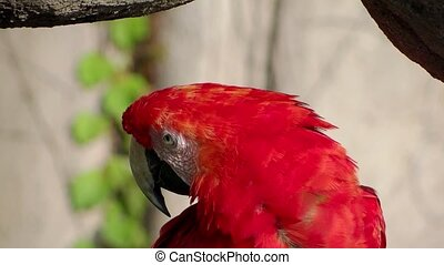 red parrot portrait close up