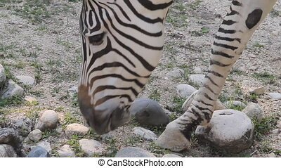 Zebra eats grass in zoo - Closeup african zebra in zoo eats...
