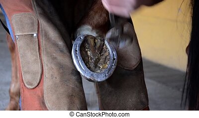 laying a horseshoe - equine farrier at work