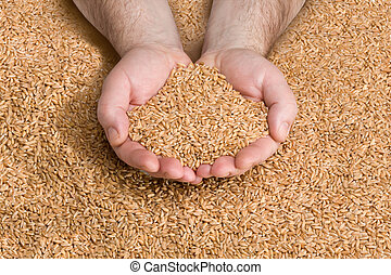 Grain Harvest - Wheat grains in hands at mill storage with...