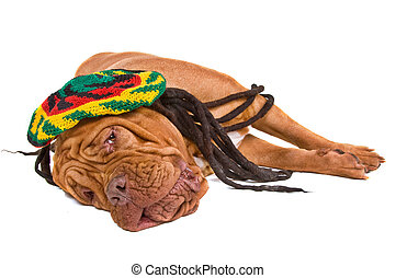 Dog Lying in Rastafarian Hat - Dogue De Bordeaux Relaxing in...
