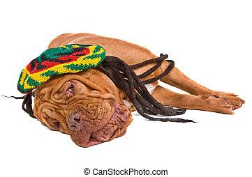 Dog Lying in Rastafarian Hat - Dogue De Bordeaux Relaxing in...