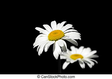 Two ox-eye daisy on the black background, isolated.