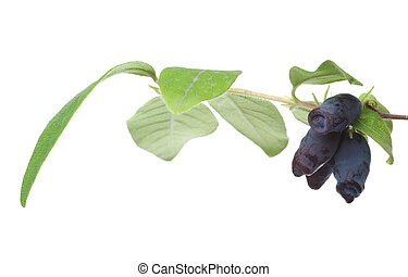 Woodbine branch with berries, isolated on the white...