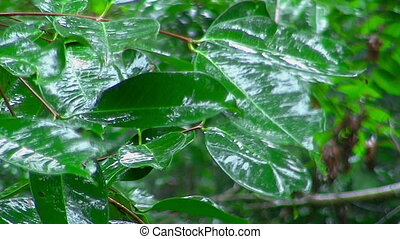 Raindrops falling on green leaves. - Raindrops falling on...