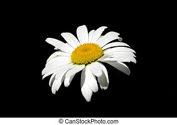 Single ox-eye daisy on the black background, isolated.