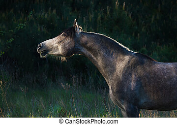 Grey arabian horse - Grey arabian portrait in forest
