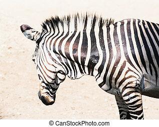 Hartmanns mountain zebra Equus zebra hartmannae Animal theme...