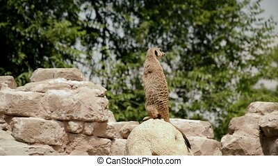 meerkat or suricate - The meerkat or suricate is a small...