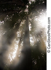 gigante, secoya, árboles