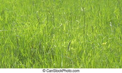 Green grass spring meadow - Blades of green grass on spring...