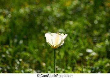 Single tulip on meadow - Single tulip on green meadow