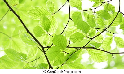 Green light leaves natural background. - Green, fresh leaves...