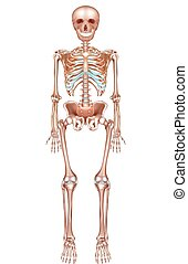 Human skeleton detailed anatomy on a white background