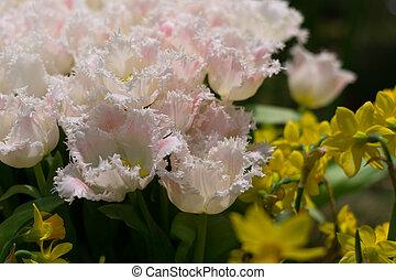 fringed tulips and daffodils - weisse gefranste Tulpen und...