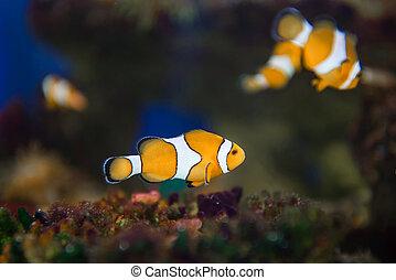 Nemo clownfish, anemonefish, Amphiprioninae